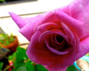 Rose- flowers